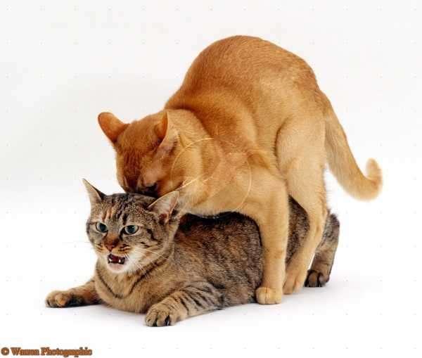 Почему кастрированный кот лезет на кошку