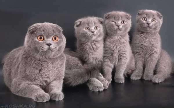 Сколько длится беременность у кошек шотландской породы