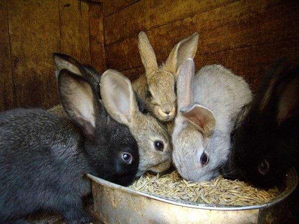 Зерновое меню кроликов: изучаем все аспекты кормления 24