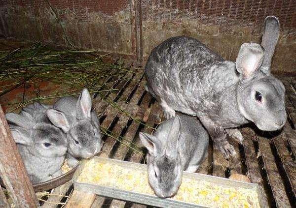 Зерновое меню кроликов: изучаем все аспекты кормления 3