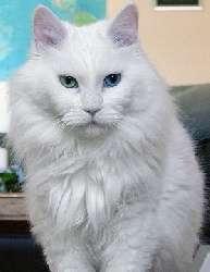 Почему белые коты глухие и как определить степень потери слуха