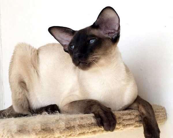 Описание кошек с большими ушами