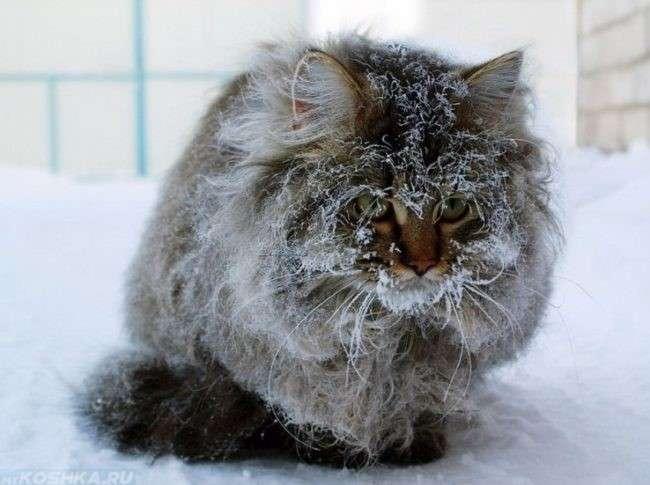 Марена красильная для лечения котов отзывы
