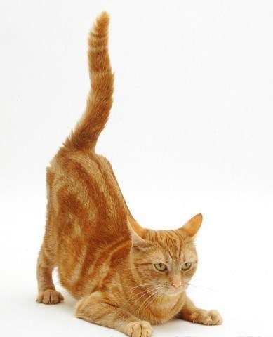 Кошка дергает хвостом и кожей на спине, кот дергается и лижется