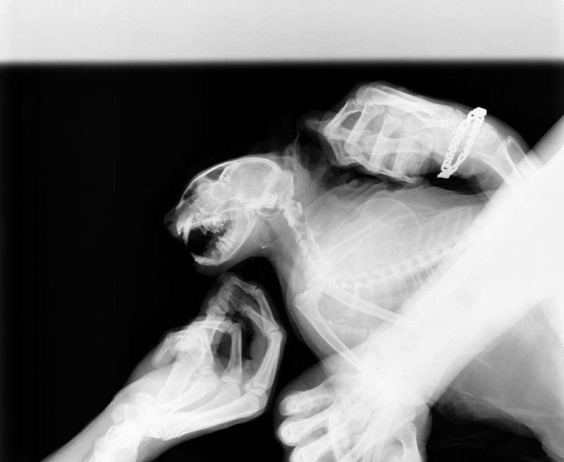 Остеосаркома у кошек