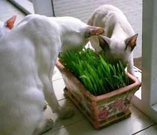 Кот срыгивает после еды причины, кошка каждый день рыгает