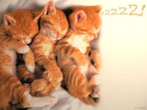 Вязка у кошек