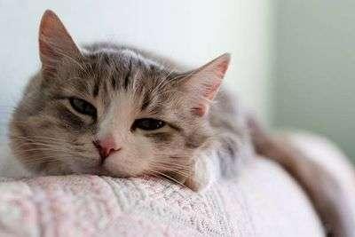 Ангина у кота что делать в домашних условиях