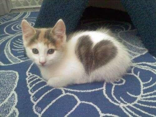 Как свести кота с кошкой первый раз – как заставить кошек спариваться?