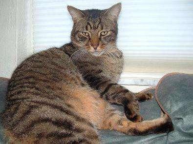 Как давать Амоксиклав кошкам. Как давать Амоксиклав для кошек
