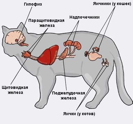 Гормональный сбой у кошек симптомы и лечение