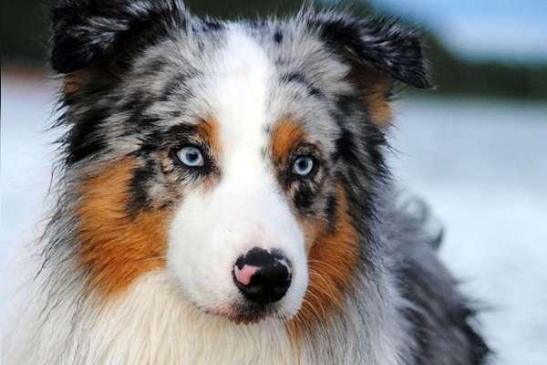 Собака серая с голубыми глазами порода