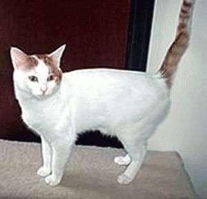 Анатолийская кошка Турецкая короткошерстная история характер и особенности содержания